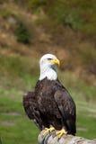 坐在松鸡山的一只白头鹰的充分的前面射击,温哥华,加拿大 免版税库存照片