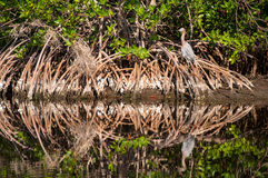 坐在柏树根的带红色白鹭 库存照片