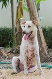 坐在树下的泰国狗 库存图片