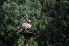 坐在树前面的干草原老鹰 免版税库存图片