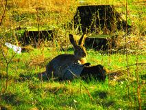 坐在树桩附近的布朗野兔 库存图片