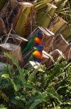 坐在树的两只澳大利亚当地彩虹lorikeet鹦鹉鸟 库存图片