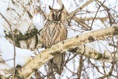 坐在树的夜掠食性鸟 库存图片