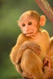 坐在树的小短尾猿 库存图片
