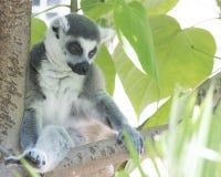 坐在树的尾部有环纹的马达加斯加狐猴看起来沉思,柔和和镇静 免版税库存照片