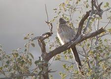 坐在树的更加伟大的走鹃尾骨californianus 图库摄影
