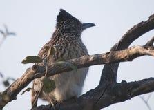坐在树的更加伟大的走鹃尾骨californianus 免版税库存照片
