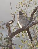 坐在树的更加伟大的走鹃尾骨californianus 库存图片