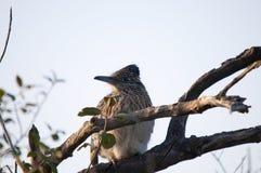 坐在树的更加伟大的走鹃尾骨californianus 免版税库存图片