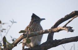 坐在树的更加伟大的走鹃尾骨californianus 库存照片