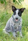 坐在树的树荫下的得克萨斯Heeler小狗 免版税库存图片