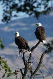 坐在树的秃头老鹰乐队 (Haliaeetus leucocephalus)俄勒冈 免版税库存照片