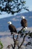 坐在树的秃头老鹰乐队 (Haliaeetus leucocephalus)俄勒冈 免版税库存图片