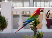 坐在树的美丽的猩红色金刚鹦鹉Ara 库存照片