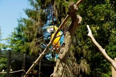坐在树的蓝色飞过的金刚鹦鹉 库存照片
