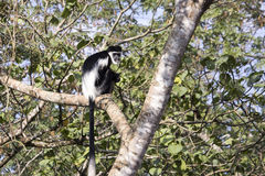 坐在树的黑白短尾猴 库存照片