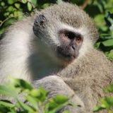 坐在树的黑长尾小猴 库存照片