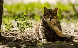 坐在树荫下的三色镶边猫 库存图片