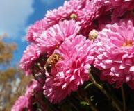 坐在桃红色花的蜂 免版税库存图片