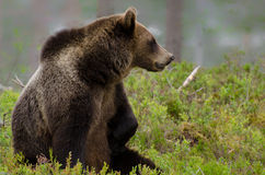 坐在森林的棕熊 免版税库存图片
