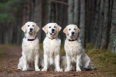 坐在森林里的三条金毛猎犬狗 库存图片