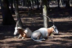 坐在森林里的两只羚羊 免版税库存图片