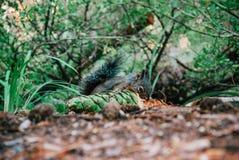 坐在森林里的小野生灰鼠吃杉木锥体 库存图片