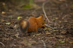 坐在森林里的美丽的红色美国灰鼠 免版税图库摄影