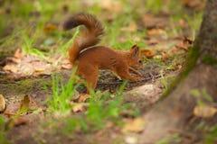 坐在森林里的美丽的红色美国灰鼠 免版税库存图片