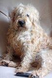 坐在椅子的小麦狗 免版税库存图片