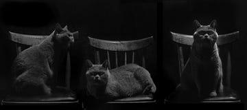 坐在椅子的英国猫 免版税图库摄影