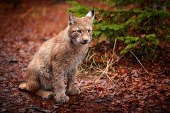 坐在橙色叶子的欧亚天猫座 从德国的野生猫 在树中的美洲野猫 在秋天草的狩猎食肉动物 天猫座 免版税库存照片