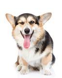 坐在正面图的愉快的彭布罗克角威尔士小狗 查出在白色 库存照片