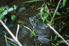 坐在水中的牛蛙 免版税图库摄影