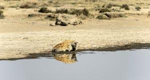 坐在水中的被察觉的鬣狗 库存图片