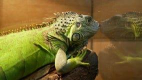 坐在水族馆的绿色爬行动物蜥蜴 股票视频
