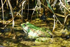 坐在池塘的一只厚实的绿色蟾蜍 免版税库存图片