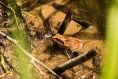坐在池塘的一只好奇棕色青蛙 库存图片