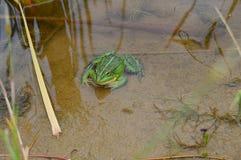 坐在池塘的大绿色蟾蜍 免版税图库摄影