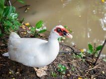 坐在池塘附近的白色鸭子 免版税库存图片