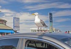 坐在汽车屋顶顶部的海鸥鸟在旧金山 库存照片