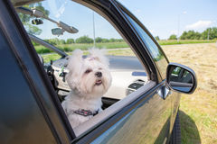 坐在汽车的狗 免版税库存图片
