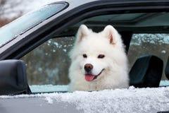 坐在汽车的白色狗萨莫耶特人 免版税库存图片
