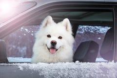 坐在汽车的白色狗萨莫耶特人 免版税库存照片