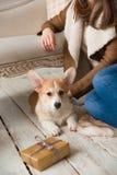 坐在沙发前面和使用与小狗威尔士小狗羊毛衫的一件温暖的夹克的一个女孩 库存照片