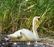 坐在沼泽的天鹅座olor (疣鼻天鹅) 免版税图库摄影