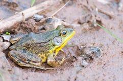 坐在泥的青蛙 免版税库存图片