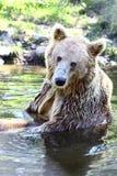 坐在浅湖的棕熊在挪威 免版税库存图片