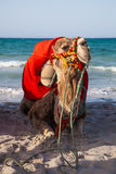 坐在海运背景的骆驼 免版税库存图片