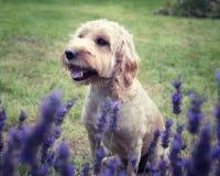 坐在淡紫色灌木后的Cockapoo狗 免版税库存照片